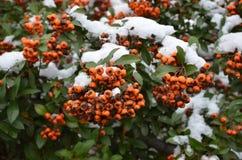 Rowan w śniegu Obraz Royalty Free