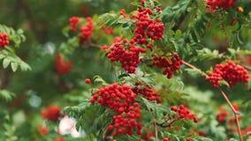 Rowan w wiatrze Ciepła jesień czerwone jagody zbiory