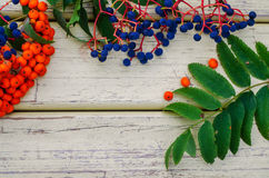 Rowan, wild grapes,  leaves wood background  , Stock Image