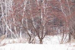 Rowan winter. At Bon birches Stock Photo