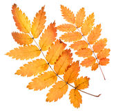 Rowan yellow leaves isolated. On white Royalty Free Stock Photo