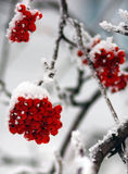 Rowanberries в утре зимы Стоковые Изображения