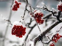 Rowanberries в утре зимы Стоковые Изображения RF