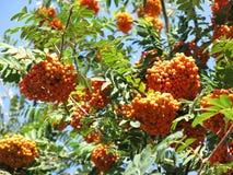 Rowanberries и солнечное небо Стоковое Изображение