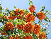 Rowanberries и солнечное небо Стоковое Фото