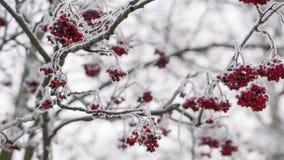 Rowanberries покрытые с изморозью и снегом, движением лотка акции видеоматериалы