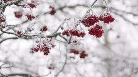 Rowanberries покрытые с изморозью и снегом сток-видео