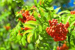 Rowanberries Stock Photos