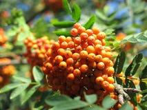 Rowanberries Стоковое Фото