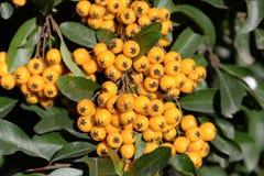 Rowanberries Стоковые Изображения RF