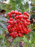 Rowanberries obrazy stock