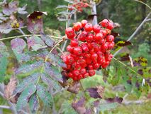 Rowanberries zdjęcia royalty free