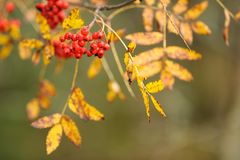 Red rowanberries in autumn season. Red Rowanberries and yellow leaves in autumn royalty free stock images