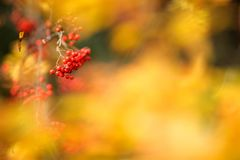 Red rowanberries in autumn season. Red Rowanberries and yellow leaves in autumn stock images