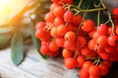 Rowanberries close up Stock Image