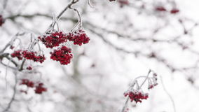 Rowanberries covered with hoarfrost and snow, pan movement stock video