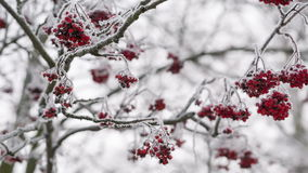 Rowanberries covered with hoarfrost and snow, pan movement stock video footage