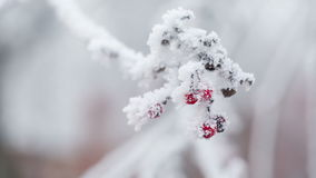 Rowanberries covered with hoarfrost and snow, pan movement stock footage