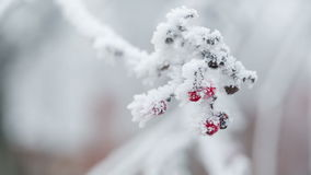 Rowanberries covered with hoarfrost and snow stock video footage