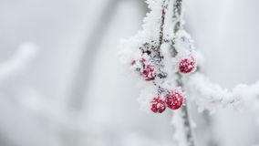Rowanberries covered with hoarfrost and snow stock footage