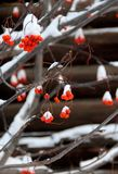 Rowanberries covered by snow. Branch of rowanberries covered by snow, Russia stock photos