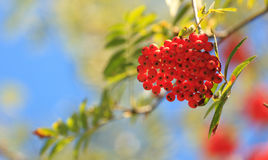 Rowanberries in early autumn. Royalty Free Stock Photography