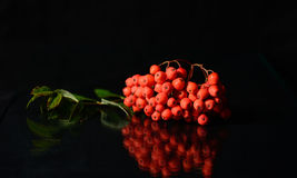 Rowanberries isolated on Black Royalty Free Stock Images