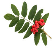Rowanberries with leaves Stock Image