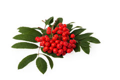 Rowanberries with leaves Royalty Free Stock Photo