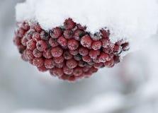 Rowanberries na neve Foto de Stock Royalty Free