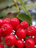 Rowanberries. Red rowanberries, automn season royalty free stock photography