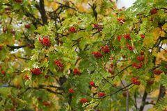 Rowanberries. Ripe rowanberries growing on tree royalty free stock images
