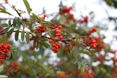Rowanberries on a Rowanberry Tree. Rowanberries / Rowanberries on a Rowanberry Tree stock image