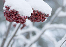 Rowanberries in snow. Closeup of rowanberries with frost and snow. A typical winter image Stock Image