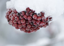 Rowanberries in snow. Closeup of rowanberries, with frost and covered in snow Royalty Free Stock Photo