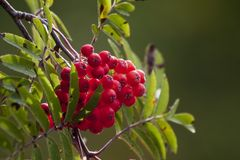 Rowanberries. Still growing on tree royalty free stock images