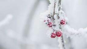 Rowanberries zakrywający z hoarfrost i śniegiem zbiory