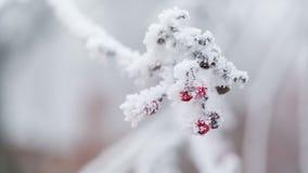Rowanberries zakrywający z hoarfrost i śniegiem, niecka ruch zbiory
