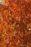 Rowanberry δέντρο το φθινόπωρο Στοκ Φωτογραφίες