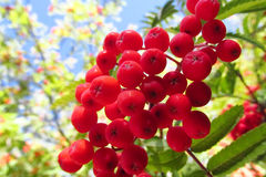 Rowanberry, κόκκινα μούρα σορβιών στο δέντρο Στοκ Φωτογραφίες