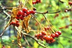 Rowanberry μετά από την κρύα βροχή φθινοπώρου Στοκ Εικόνα