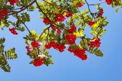 Rowanberry με το μπλε ουρανό Στοκ Εικόνα