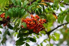 Rowanberry τα φρούτα κρεμούν στο δέντρο Στοκ εικόνα με δικαίωμα ελεύθερης χρήσης