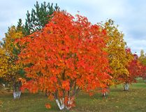 Rowanberry φθινοπώρου Στοκ Εικόνες