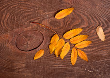 Rowanberry φύλλα Στοκ φωτογραφία με δικαίωμα ελεύθερης χρήσης