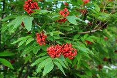 Rowanberry, зрелая ягода Стоковые Изображения