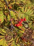 Rowanberry красного цвета природы рябины дерева Стоковые Изображения RF