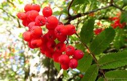 Rowanberry, красные ягоды рябины на дереве Стоковые Фотографии RF