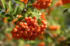 Rowanberry на дереве Стоковые Фото