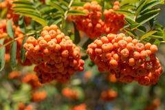 Rowanberry на дереве Стоковое Изображение RF